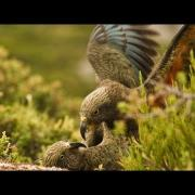 Kea parrots respond to play call (kea parrot laugh)