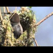 Wonders of Nature. Bushtits build a nest.