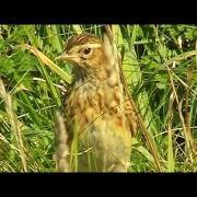 Skylark at Godrevy with Skylarks Above Singing Their Bird Beautiful Song - Alauda Arvensis