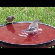 Yellow-rumped Warbler - small water, big splash