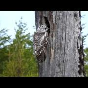 Northern Hawk Owl, May 2015,  Kuusamo, Finland