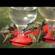 Anna's Hummingbirds At The Feeder