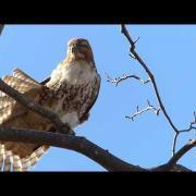 Red Tailed Hawk in a Tree Preening and Stretching