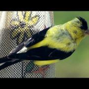 American Goldfinch - HD Mini-documentary