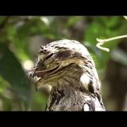 Ibijau gris - Common Potoo