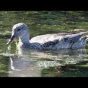 Female Gadwall ~ Delta, British Columbia
