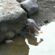 GREEN HERON CATCHING FISH_0001.wmv