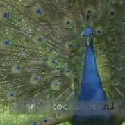 Peacock calling - Pavo cristatus
