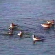 Phalaropes Spinning