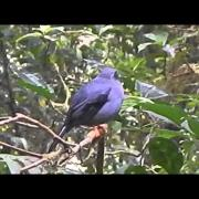 Black Faced Solitaire singing