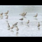 Pacific Golden-Plover.wmv
