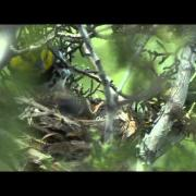 Golden-cheeked Warbler Nest with Chicks - Texas Parks and Wildlife [Official]