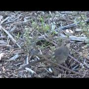 California Thrasher thrashing the ground
