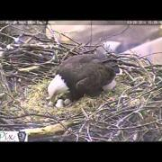First eaglet hatches at Pittsburgh Hays bald eagle nest 3-28-2014