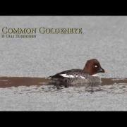 Common Goldeneye Sinks Before It Dives