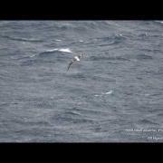 Short-tailed Albatross (Phoebastria Albatrus) Sep 17 2017, Off Aomori Pref.