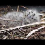 Herring Gull Chick Close-Up
