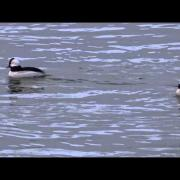 Bufflehead Ducks Diving