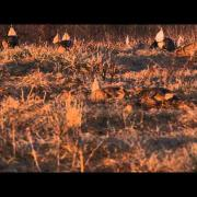 Sharp tail grouse mating dance