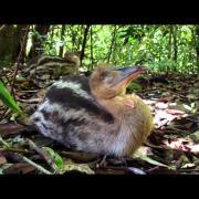 Wild baby cassowary