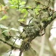 Anna's Hummingbird nest