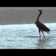 Reddish Egret Feeding Dance