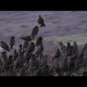 Starling Murmuration - Best Viewed in HD - Starlings Flocking at Marazion Marsh 2013 - étourneau