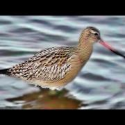 Bar-tailed Godwit - Barge Rousse