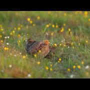 Patrijs - Perdix perdix - Partridge
