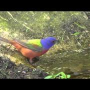 Painted bunting. South Padre Island