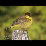 Palm Warbler in Maine (Yellow, Eastern)