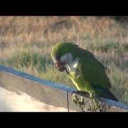 Monk Parakeets In The Wild - (Myiopsitta monachus)