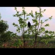 Brewer's Blackbird Calling and Ruffling Feathers