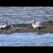 Bar-headed geese on the bank of Denwa River, Satpura