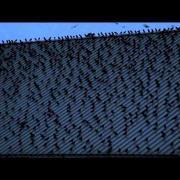 Crows at University of Washington, Bothell