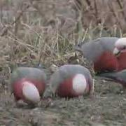 Galahs or Rose-breasted Cockatoos feeding in the wild