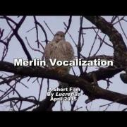 Merlin Vocalization