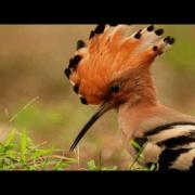 The hoopoe Bird-signing