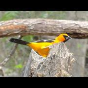 Colorful Altamira Oriole at the National Butterfly Center