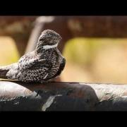 Common Nighthawk Opens Big Mouth