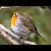 European Robin (Erithacus rubecula) / Rotkehlchen [09]