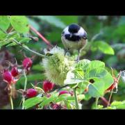 Black-capped Chickadee hunting wasp grubs