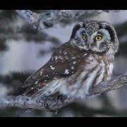 Boreal Owl Hunting in Daylight