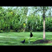 Crows Playing Swinging from a Branch