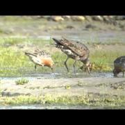 Hudsonian Godwit and Red Knots Feeding James Bay6941