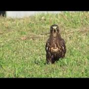 Swainsons Hawk, Holmes County Ohio (hunting grasshoppers)