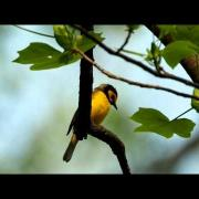 Hooded Warbler 40 and 55 ft