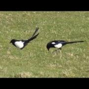 Eurasian Magpie.