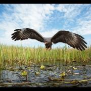 The Everglades Snail Kite - Behind the Scenes