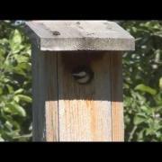 Chickadees Fledging